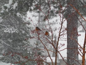 Robins, a sign of Spring